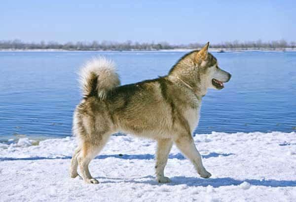 chien de traineau malamut