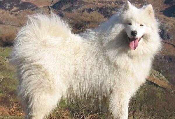 chien de traineau samoyede