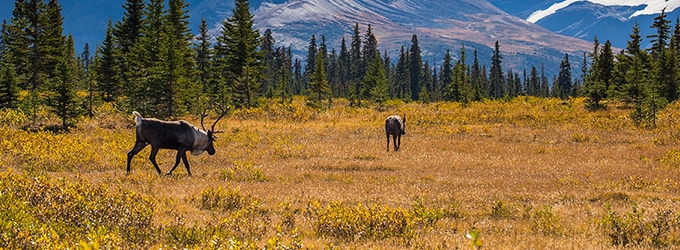 caribou du canada