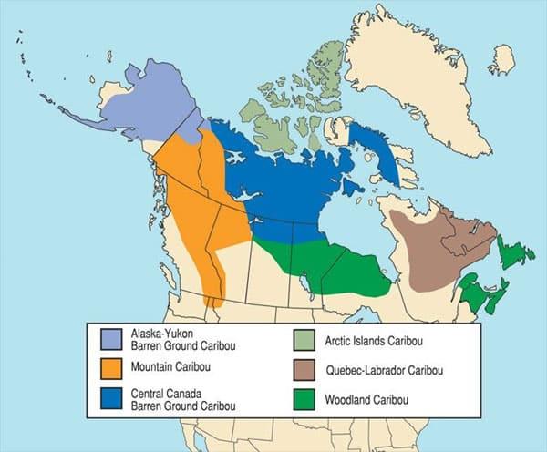 population caribou au Canada