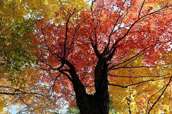 arbre automne quebec