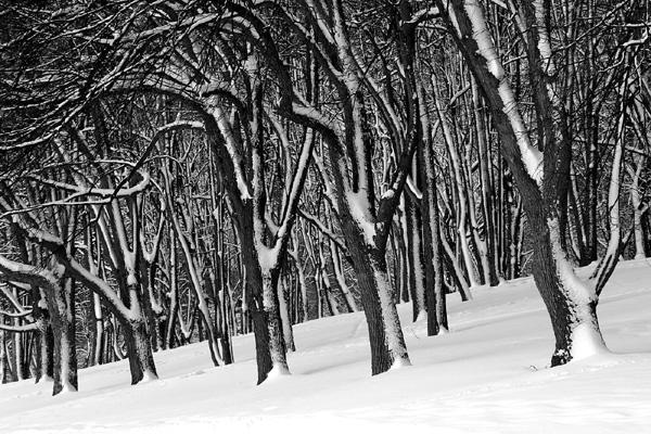 arbres plaines d'Abraham